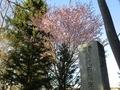 令和2年5月初旬 西野神社の桜