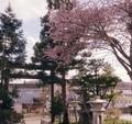 令和3年5月初旬 西野神社の桜