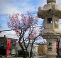 令和3年5月初旬 西野神社の梅