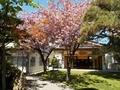 令和3年5月 西野神社境内の八重桜
