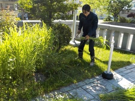 令和3年 西野神社 夏越大祓「茅の輪」材料刈り取り