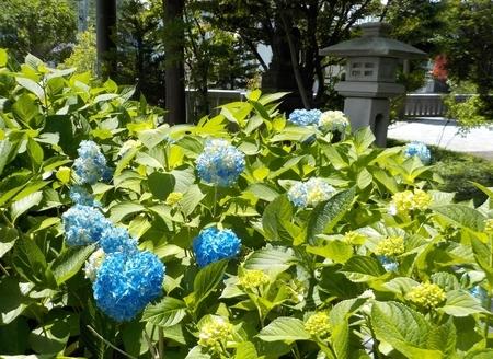 西野神社境内で咲き始めた紫陽花(令和3年)