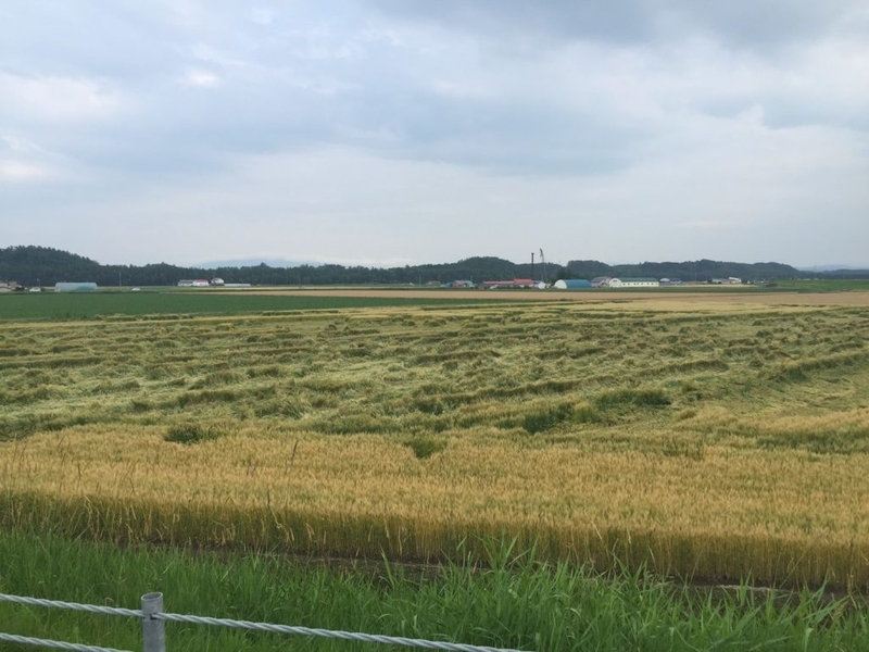 網走管内の倒伏した小麦畑。今年は春小の倒伏が多いようです。