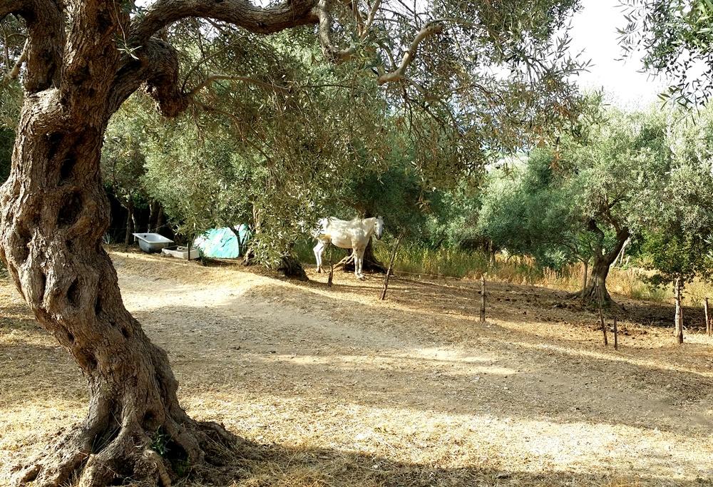 テッラチーナの馬