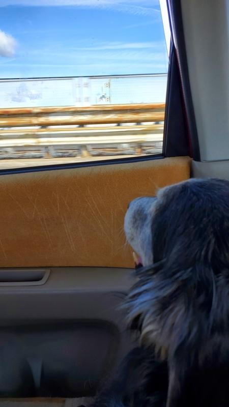 車の中から外を眺める大型犬