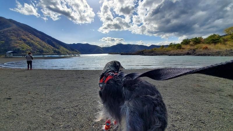 本栖湖を見つめる大型犬