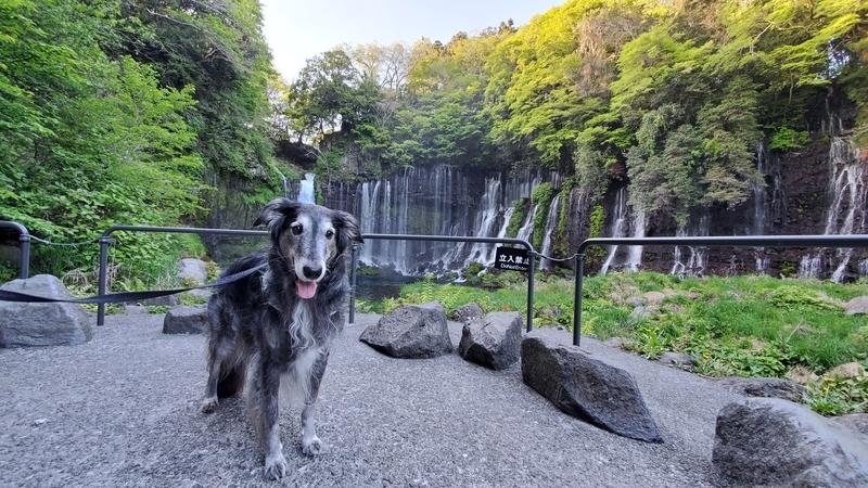 白糸の滝をバックにうれしそうな大型犬