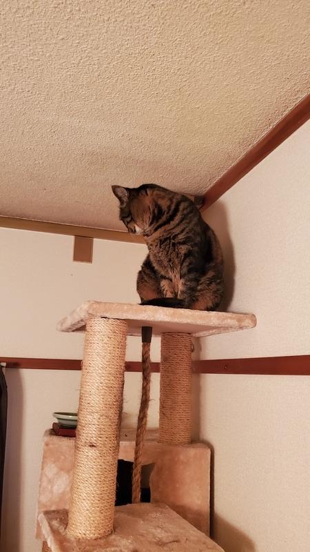 キャットタワーの最上部からフードの入っていない器を見つめる猫