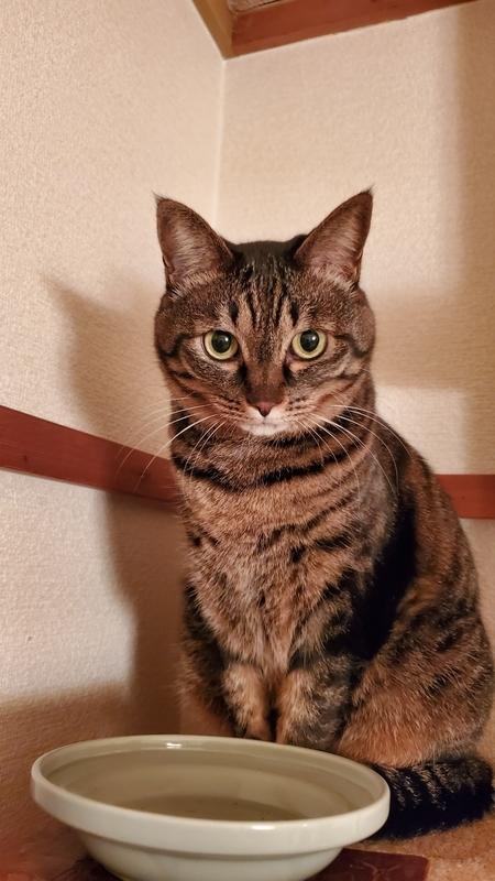 ご飯をくださいと無言の圧をかけてくるカワイイ猫