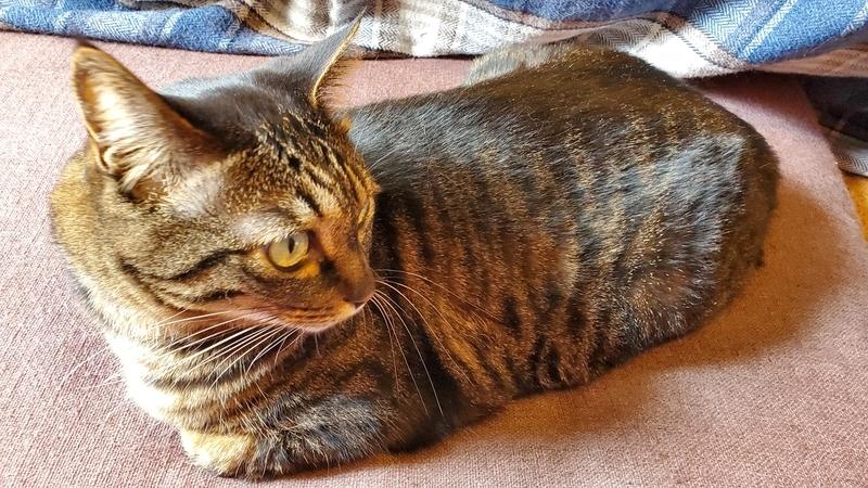 長座布団の上で香箱を組むカワイイ猫