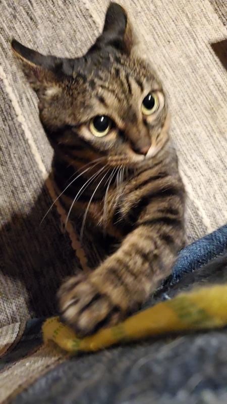 じゃらしに突っ込みを入れるカワイイ猫
