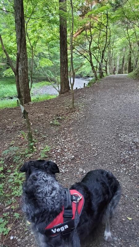 小国神社の散策道で振り返る大型犬
