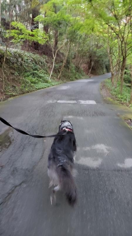 小国神社の散策道を歩く大型犬