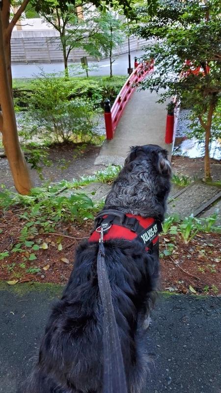 小国神社の宮川にかかる赤い欄干の橋を見る大型犬