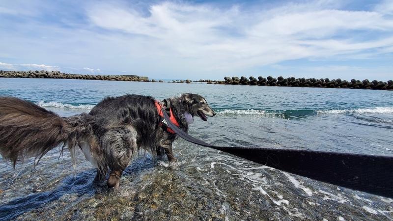 用宗海岸のキレイな海に入れてうれしそうな大型犬