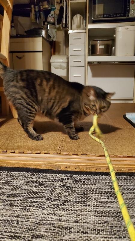 カシャカシャひもじゃらしで遊ぶかわいいキジトラ猫