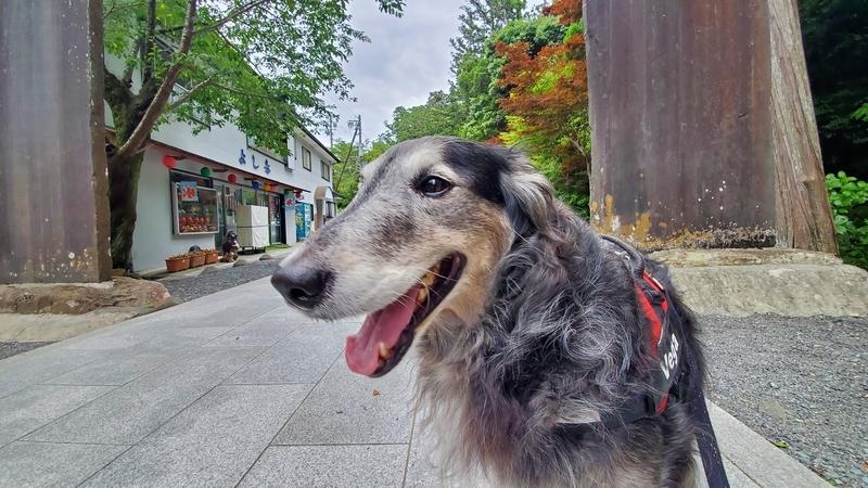 法多山の参道を歩くカワイイ大型犬