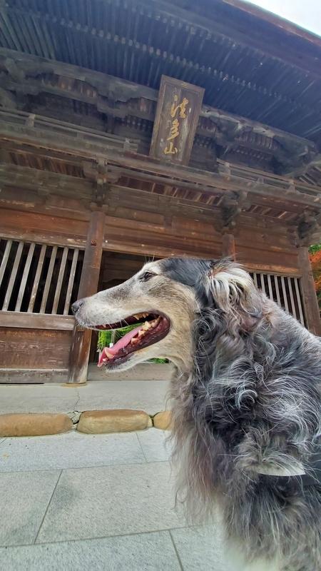 法多山の仁王門の前で笑顔の大型犬