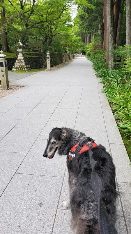 法多山の参道を歩く笑顔の大型犬