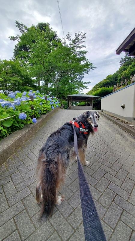 法多山の紫陽花の咲いている参道を歩く大型犬