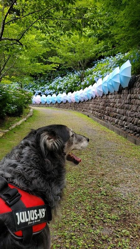 法多山の紫陽花を見ている大型犬