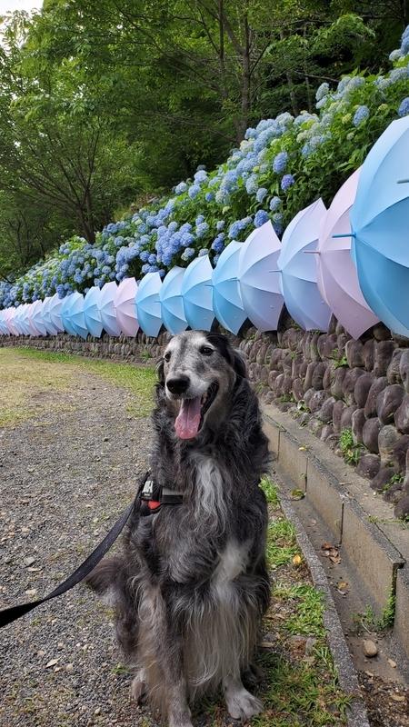 法多山の紫陽花をバックに笑顔の大型犬