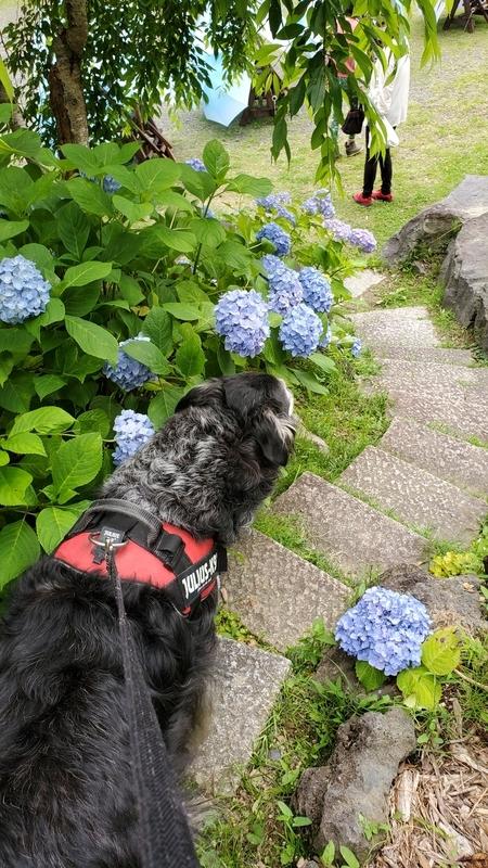 法多山の紫陽花が咲いている参道を歩く大型犬