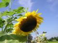 九月、残暑のヒマワリ