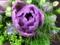 八重咲チューリップ1