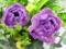 紫八重チューリップラスト3
