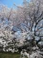 文化広場桜3