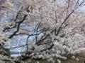 文化広場桜1