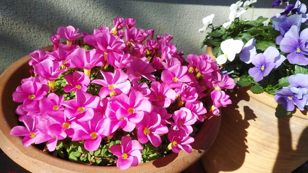 オキザリスとビオラの花