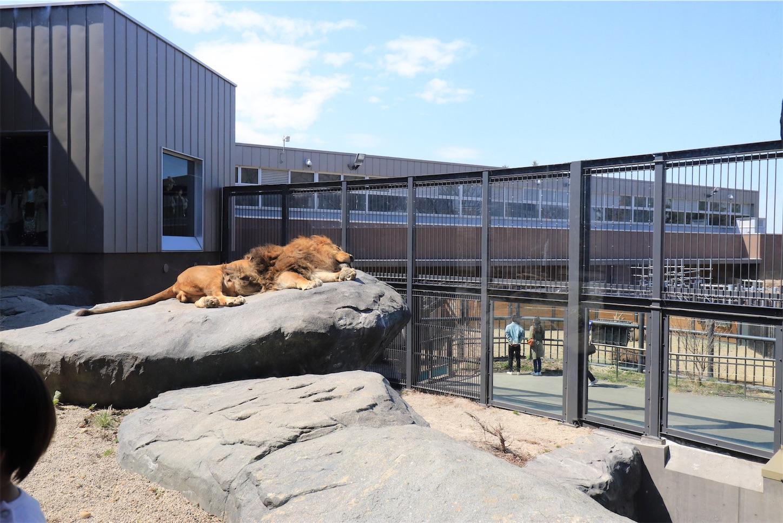 円山動物園のお昼寝中のライオン