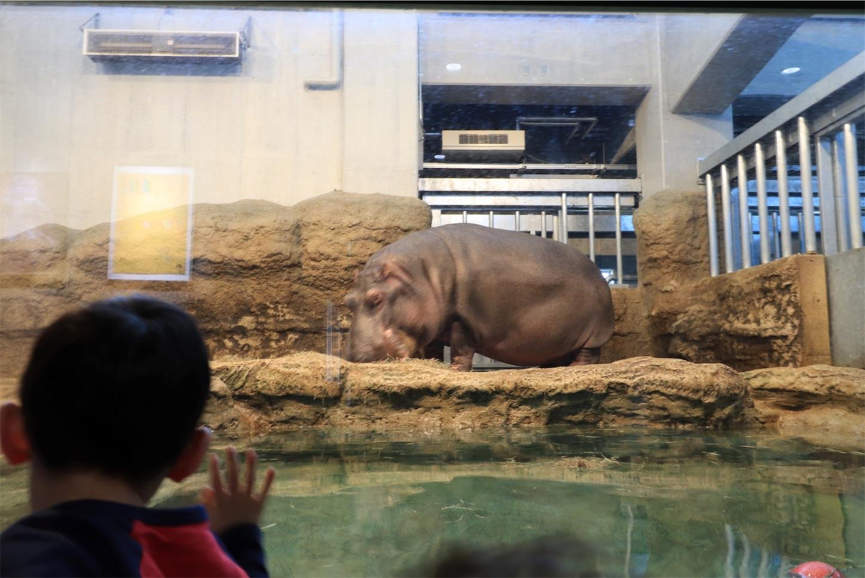 円山動物園の食事中のカバ