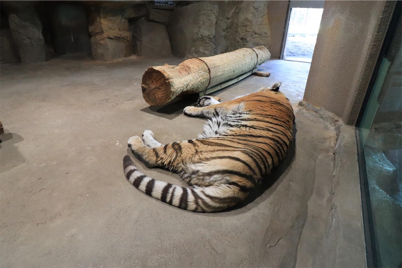 円山動物園のお昼寝中のトラ