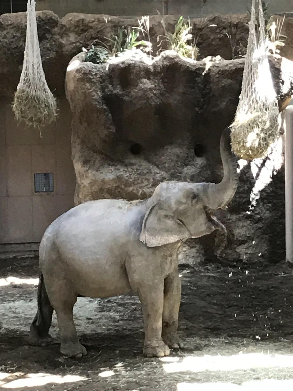 円山動物園の食事中のゾウ
