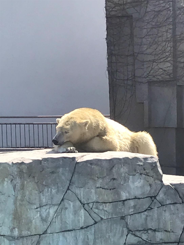 円山動物園のお昼寝中のしろくま