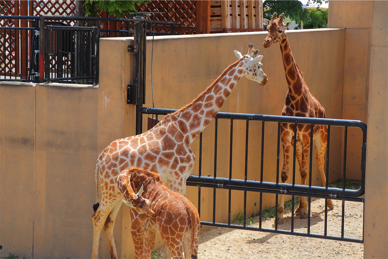 旭山動物園のキリン家族ご一行