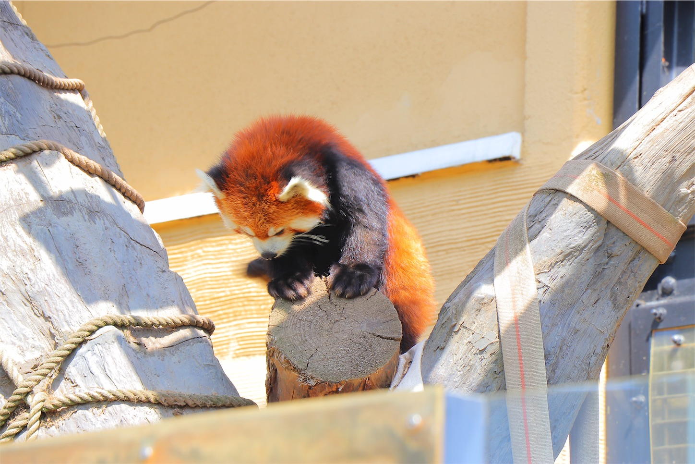 旭山動物園の人気動物のレッサーパンダ