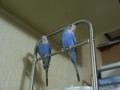 どこに行くにも一緒の2羽