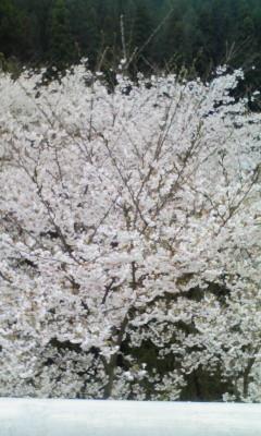 090405 桜