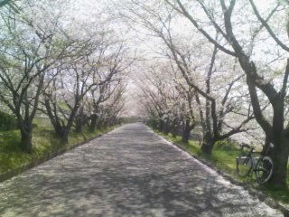 20100410 西部浄水場入り口の桜