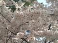 20110409 桜(琴弾公園)