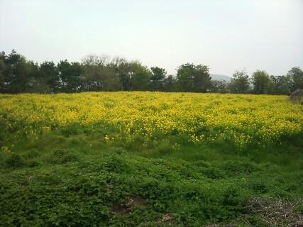 20110503 菜の花畑