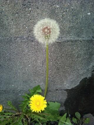 20110506 タンポポ