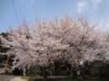 0407 昼練(L3-4):仁尾・詫間・三野Ride 桜(香川高専近く)