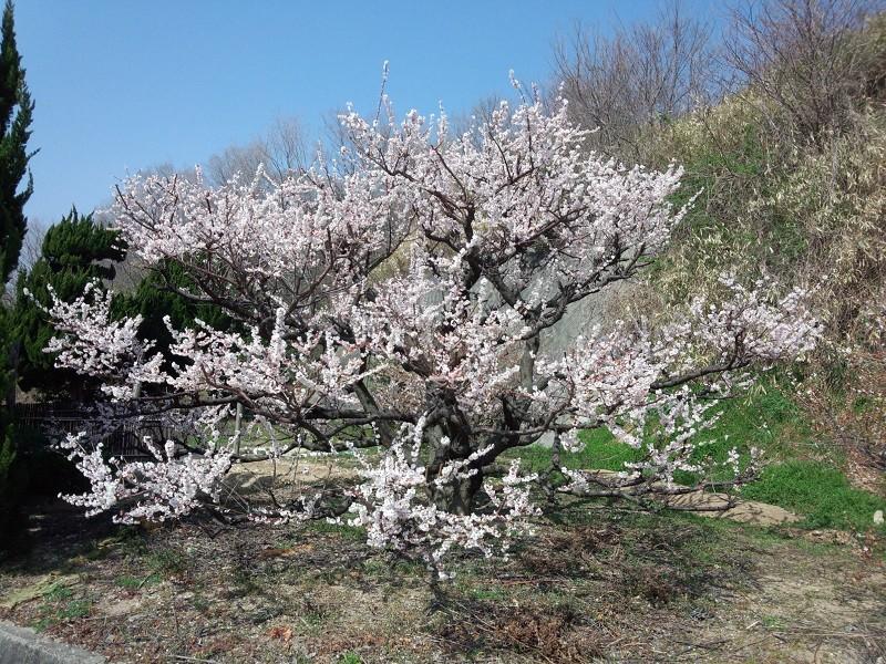 20130309 昼練:梅の花