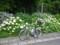 20130617 紫陽花