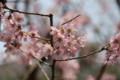 20150322 早咲き桜??